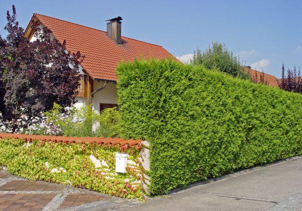 robuste immergr ne k belpflanze als sichtschutz m bel. Black Bedroom Furniture Sets. Home Design Ideas