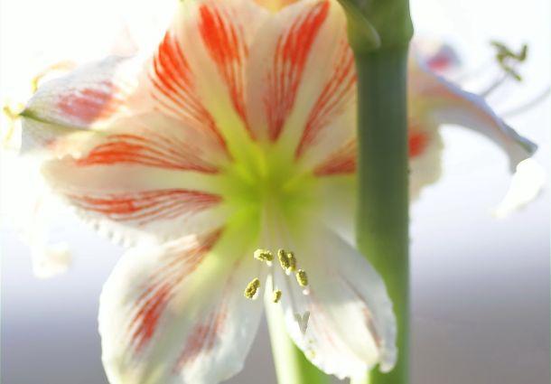 trendblume amaryllis so wird sie auch im n chsten winter bl hen. Black Bedroom Furniture Sets. Home Design Ideas